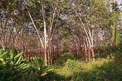Piantagione dell'albero della gomma, stato dell'erbaccia Fotografia Stock Libera da Diritti