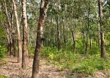Piantagione dell'albero di gomma Immagini Stock