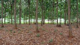Piantagione dell'albero di gomma Fotografie Stock