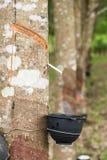 Piantagione dell'albero di gomma Immagini Stock Libere da Diritti