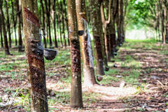 Piantagione dell'albero di gomma Fotografia Stock