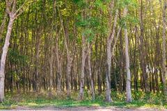 Piantagione dell'albero di gomma in Tailandia Immagine Stock