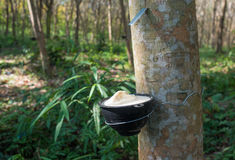 Piantagione dell'albero di gomma, Tailandia Fotografia Stock Libera da Diritti