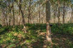 Piantagione dell'albero di gomma, Tailandia Fotografie Stock