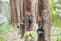 Piantagione dell'albero di gomma in Tailandia Fotografia Stock