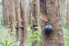 Piantagione dell'albero di gomma in Tailandia Asia Fotografia Stock