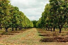 Piantagione dell'albero di mango Fotografia Stock