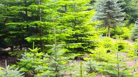 Piantagione dell'albero di Natale in una foresta stock footage
