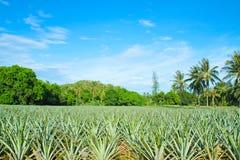 Piantagione dell'ananas. Fotografia Stock Libera da Diritti