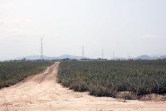 Piantagione dell'ananas Fotografia Stock Libera da Diritti