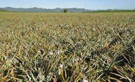 Piantagione dell'ananas Immagine Stock Libera da Diritti