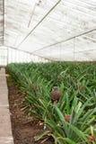Piantagione dell'ananas in serra, Azzorre Fotografie Stock