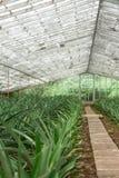 Piantagione dell'ananas in serra, Azzorre Immagini Stock Libere da Diritti