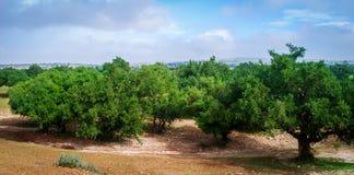 Piantagione dell'albero dell'argania spinosa Fotografia Stock