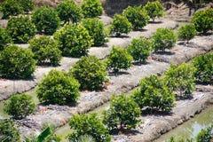 Piantagione dell'azienda agricola di frutti Immagine Stock Libera da Diritti