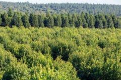 piantagione dell'erba mate Fotografia Stock Libera da Diritti