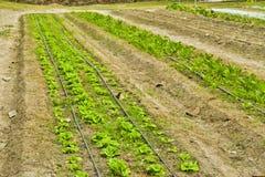 Piantagione dell'insalata della lattuga di Butterhead, verdura organica verde Immagini Stock