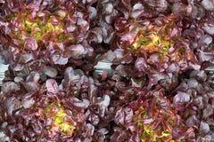 Piantagione dell'insalata della lattuga, verdura organica immagine stock