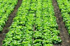Piantagione dell'insalata verde nella fila, agricoltura ecologica Immagini Stock Libere da Diritti