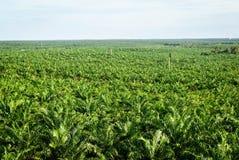 Piantagione dell'olio di palma Immagine Stock Libera da Diritti