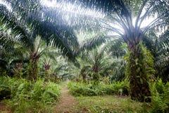 Piantagione dell'olio di palma Immagine Stock