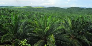 Piantagione dell'olio di palma fotografia stock