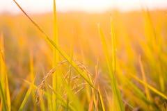 Piantagione dell'oro del giacimento del riso con il tramonto leggero su fondo Fotografia Stock Libera da Diritti