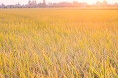 Piantagione dell'oro del giacimento del riso con il tramonto leggero su fondo Fotografia Stock