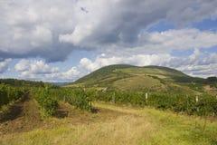 piantagione dell'uva fotografie stock
