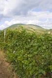 piantagione dell'uva immagini stock libere da diritti