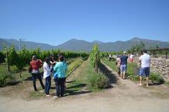 Piantagione dell'uva Immagine Stock