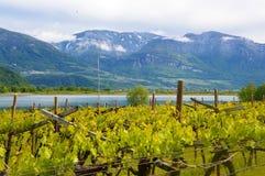 Piantagione dell'uva vicino al lago Caldaro a Bolzano/Bozen Sudtirol, Italia Fotografie Stock Libere da Diritti