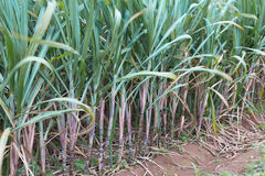 Piantagione della canna da zucchero Fotografia Stock
