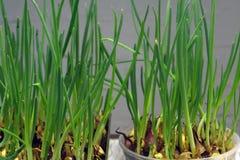 Piantagione della cipolla nella lampadina luminosa dell'orto, Fotografia Stock