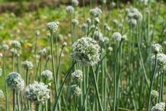 Piantagione della cipolla It& x27; tempo di s di fiorire cipolla Pianeta verde Fotografia Stock Libera da Diritti
