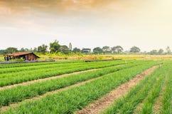 Piantagione della erba cipollina fresca e giovane Fotografie Stock Libere da Diritti