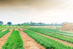 Piantagione della erba cipollina fresca e giovane Immagini Stock