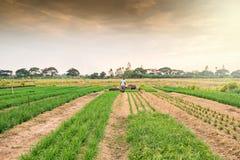Piantagione della erba cipollina fresca e giovane Immagine Stock