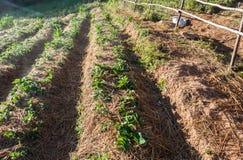 Piantagione della fragola con i chiarori leggeri Fotografie Stock