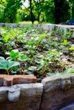 Piantagione della fragola Giacimento organico della fragola Paesaggio del giardino della fragola Immagini Stock