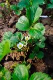 Piantagione della fragola Giacimento organico della fragola Paesaggio del giardino della fragola Fotografia Stock Libera da Diritti