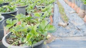 piantagione della fragola nell'azienda agricola di agricoltura Immagine Stock Libera da Diritti