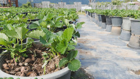 piantagione della fragola nell'azienda agricola di agricoltura Fotografie Stock Libere da Diritti
