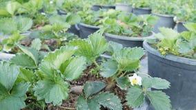 piantagione della fragola nell'azienda agricola di agricoltura Fotografie Stock