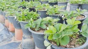 piantagione della fragola nell'azienda agricola di agricoltura Fotografia Stock