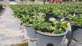 piantagione della fragola nell'azienda agricola di agricoltura Immagini Stock Libere da Diritti