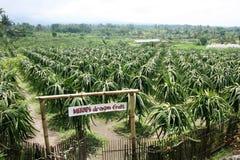 Piantagione della frutta del drago Immagini Stock Libere da Diritti