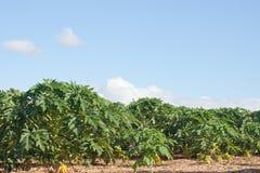 Piantagione della frutta della papaia Fotografie Stock