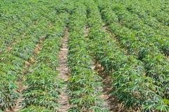 Piantagione della manioca Fotografia Stock Libera da Diritti
