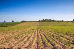 Piantagione della manioca Fotografie Stock Libere da Diritti